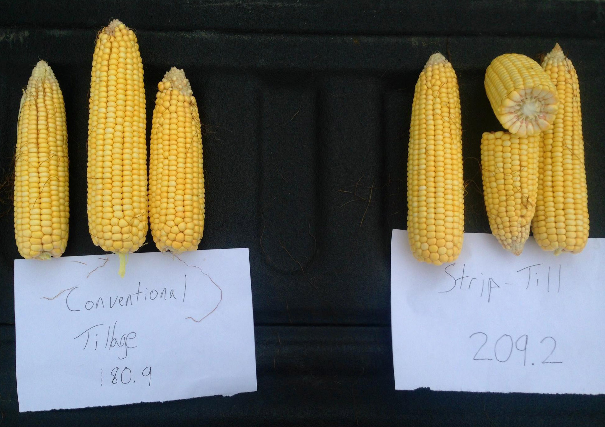 Plains Grains & Agronomy Test Yeilds using Ears of Corn
